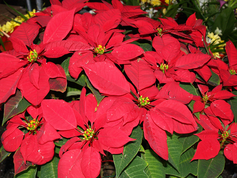 Poinsettias are synonymous with Christmas | Office Plants Blog